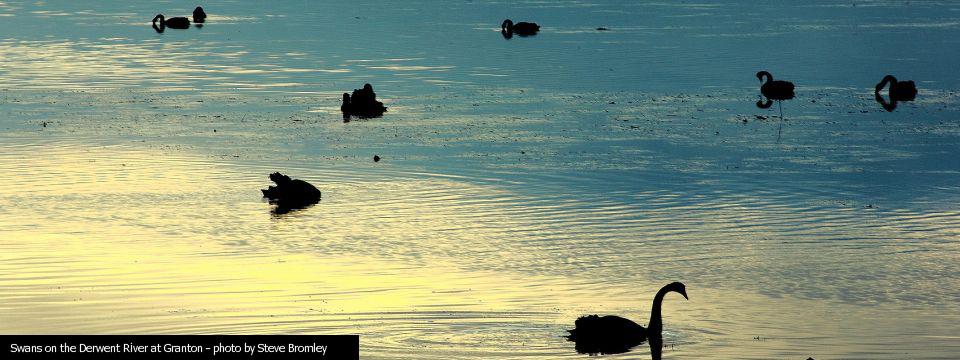 05 Swans on the River Derwent – Steve Bromley